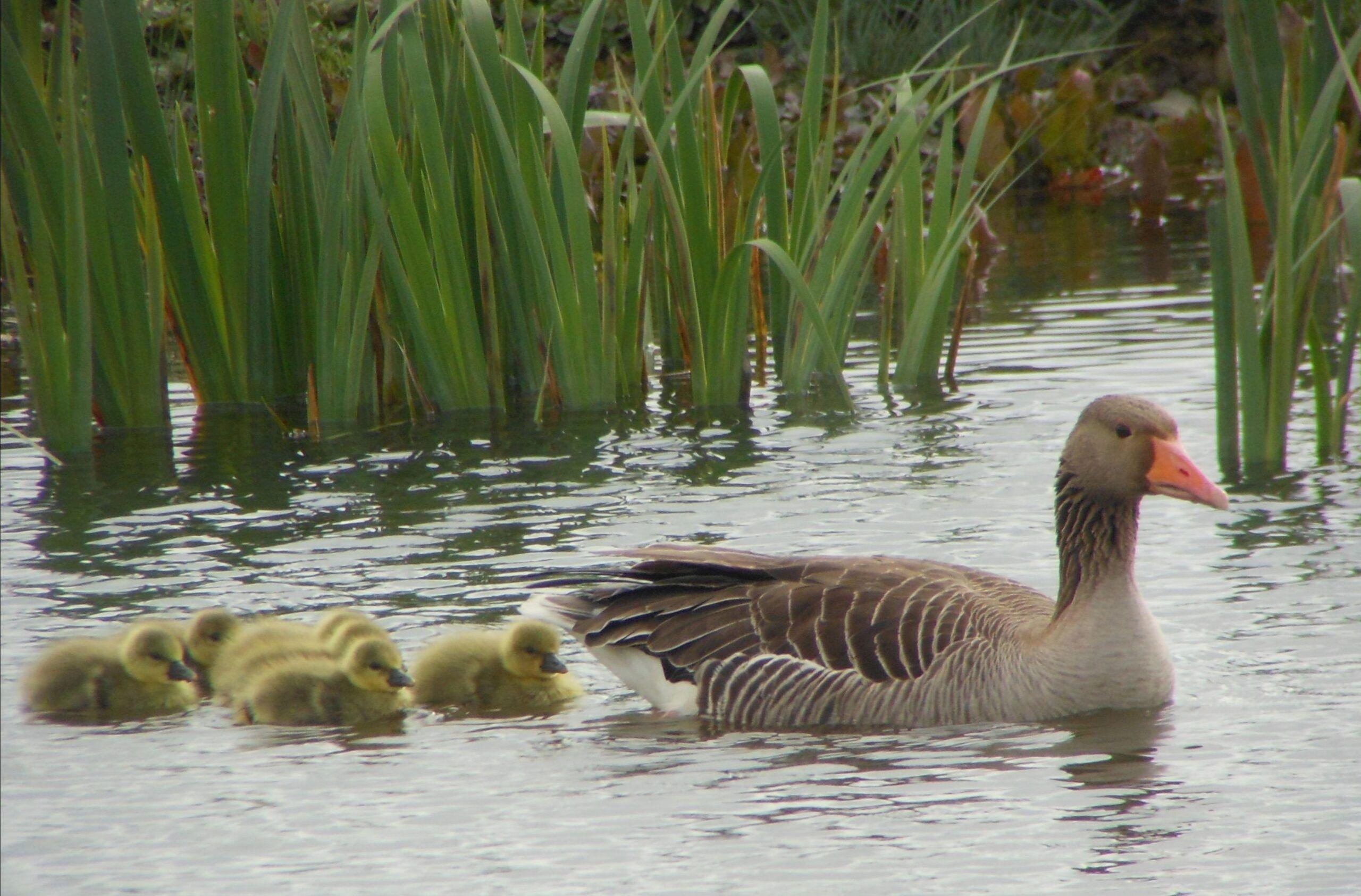 patos aves salburua